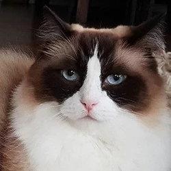 Toby Timo The Ragdoll Cat Wiki Bio Everipedia