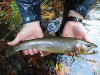 Lake Crescent cutthroat trout wiki, Lake Crescent cutthroat trout history, Lake Crescent cutthroat trout news