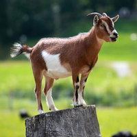 Goat wiki, Goat history, Goat news