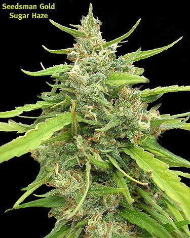 Seedsman: Sugar Haze